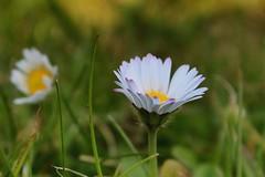 Daisies (Ben-Webster) Tags: white blur flower green grass yellow garden focus daisy foreground mouseview