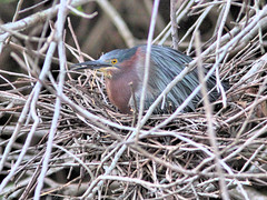 Green Heron incubating HDR 20160522 (Kenneth Cole Schneider) Tags: florida miramar westbrowardwca