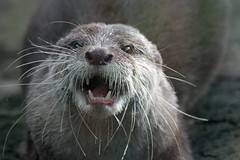 Otter (iansand) Tags: zoo otter taronga tarongazoo