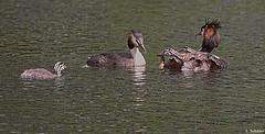 Haubentaucher (SchaeferNRW) Tags: water birds tiere wildlife vgel loon haubentaucher greatcrestedcrebe schaefernrw