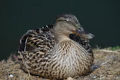 i sleep (ecordaphoto) Tags: bird eye nature duck nikon natura ali occhi sonno boken uccello volatile anatra becco d5100