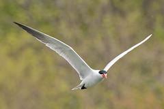 DUD_3845r (crobart) Tags: lake ontario bird birds port caspian erie tern dover