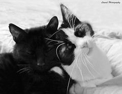 cats (laurek.photography) Tags: cats pets white black cute monochrome chats hugs