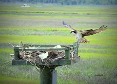 meanwhile....back at the nest (judecat (getting back to nature)) Tags: bird nature newjersey wildlife wildwood osprey newjerseywildlife ospreyinnest