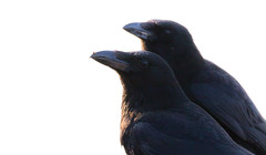 Crow family (The Rustic Frog) Tags: uk morning wild england sun black bird sunshine birds dawn power bills meat agility strength crow carrion common crows warwickshire crumb intelligent sense copying mimicking