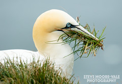 Gannet with Grass (Steve Moore-Vale) Tags: england grass birds unitedkingdom wildlife yorkshire places aves florafauna fotobuzz northerngannet morusbassanus rspb bemptoncliffs nestingmaterial