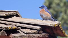 Western Bluebird (John A. McCrae) Tags: arizona southwest bird nationalpark unitedstates grandcanyon bluebird southrim westernbluebird brightangellodge