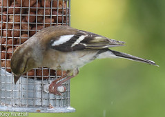 Success (Katy Wrathall) Tags: 2016 chaffinch eastriding eastyorkshire england june summer birds feeders garden 30dayswild