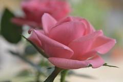 image (hgdeleu) Tags: flower nature fleur beautiful rose garden nikon sweet natureza flor rosa hana jardim beleza  blume blomst cor bloem nikon3100 blm  kukka fotodoce
