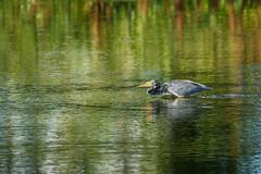 Heron Hunting-8021 (Don Burkett) Tags: animal birds canon7dmkii canoneos7dmarkii ef100400f4556isiiusm fauna florida nature outdoor wakodahatcheewetlands
