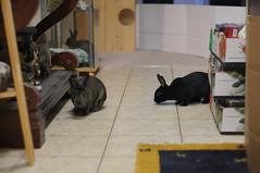 Kids in the hall (Tjflex2) Tags: muyal kelinci coinin ilconiglio usagi sungura toki lepus fenek kanin krolik coelho iepure conejo rabbit bunny lapin cute cuddly furry fuzzy leporidea small mammal lagomorph adorable pets vancouver bc canada friendship playful nature pretty girl bunnies boy exploring