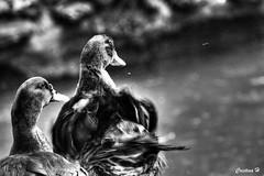 Miradas animales (II) (CristinaH-Fotografia) Tags: patos animales parque sevilla seville spain espaa bw blackandwhite hdr