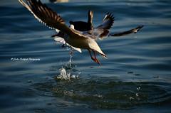 even aviators are hungy (Julia Rothfu) Tags: gull sea wasser wassertropfen mwe splash