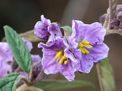 Kempsey Nightshade (Solanum curvicuspe) (Poytr) Tags: mountcabrebald barringtontopsnationalpark barringtontops dungognsw dungog arfp nswrfp qrfp solanum solanumcurvicuspe marginalarfp outdoor flower plant