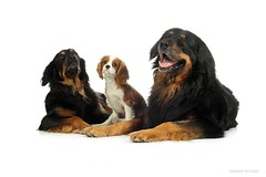 Princess and her guards. (Sergey Ryumin) Tags: dog pets animal guard spaniel cavalier cavalierkingcharlesspaniel hovawart sergeyryumin