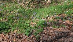 Wald-Veilchen (Viola reichenbachiana) und Scharbockskraut (Ficaria verna); Bergenhusen, Stapelholm (118) (Chironius) Tags: stapelholm bergenhusen schleswigholstein deutschland germany allemagne alemania germania германия niemcy blüte blossom flower fleur flor fiore blüten цветок цветение wald rosids fabids malpighienartige malpighiales veilchengwächse violaceae veilchen viola blau