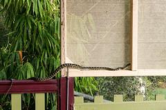 Coastal Carpet Python tries to sneak up into the roof guttering (Big Brisbane Boy) Tags: reptile snake australia queensland aus rathdowney