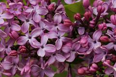 Lilac - Flieder - lilas (Jrgen Kornstaedt) Tags: france macro canon lilac lilas flieder midipyrnes colomiers eos6d