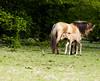 Mother and babt foal (inekehuizing) Tags: horses nature landscape spring natuur lelystad landschap paarden voorjaar koniks oostvaarderplassen inekehuizingfotografie