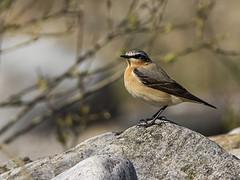 Wheatear (Paul A West) Tags: bird nature canon 7d wheatear canon7d