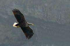 White Tailed Sea Eagle - Skye (Adam Sibbald) Tags: sea white skye bird scotland nikon eagle flight tailed bif 80400vr 80400 d800e