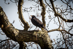 Mustarastas / Blackbird (Tuomo Lindfors) Tags: tree suomi finland puu blackbird mariehamn åland ahvenanmaa maarianhamina mustarastas lillaholmen theacademytreealley