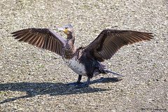 Drying Cormorant (K_D_B 2 Million views. Thanks) Tags: bird canon spread wings newport cormorant pembrokeshire seabird drying sunning kdb 7dmkii tamronsp150600mmf563divcusda011