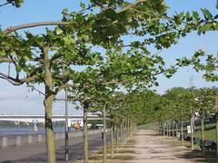 ..schon ist das Blattwerk fast ausgebildet (homo_sapiens) Tags: trees bonn rhein rheinland allee platanen laubbume bonnerbogen