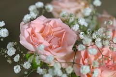 * (najla sohaibani) Tags: pink flowers sun white flower green شمس ورد تصوير goodevening تصويري ورده وردي goodafternoon اخضر مساء ابيض مساءالخير مساءالورد
