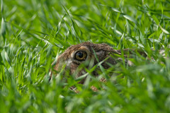 Brown Hare - close up - (Wouter's Wildlife Photography) Tags: nature animal mammal hare wildlife camouflage billund brownhare lepuseuropaeus zoogdier pattedyr
