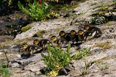 _F0A7711.jpg (Kico Lopez) Tags: birds rio spain aves galicia lugo mio anasplatyrhynchos anadeazulon