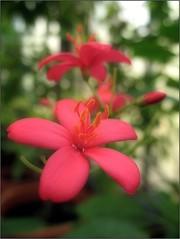 (Tlgyesi Kata) Tags: macro greenhouse botanicalgarden redflower spicyjatropha jatrophaintegerrima peregrina fvszkert botanikuskert plmahz femaleflower veghz withcanonpowershota620