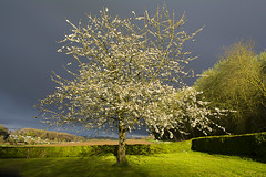 Tree before dark sky (Jan van der Wolf) Tags: light shadow storm tree grass rain weather clouds landscape shower licht blossom beautifullight wolken boom gras bloesem regen bui limburg landschap weer gulpen reijmerstok map154299v