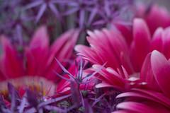 Gerbera & Onion Flowers (beatraxa) Tags: pink flowers flower gerbera bunch onion bouquet