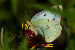 Orange sulphur (jim_mcculloch) Tags: butterflies lepidoptera pieridae dsc3110