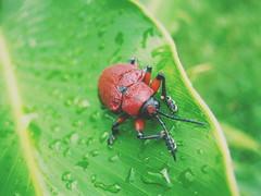 F O C U S (fergprado) Tags: rain bug drops beetle chuva gotas inseto besouro besourovermelho