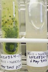 ORNG0363 (David J. Thomas) Tags: culture cave algae microbiology slant agar cyanobacteria phycology lyoncollege bg11 photobiont phycobiont