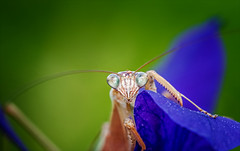 Here's Looking at You Kid (kathybaca) Tags: world life iris flower nature fauna garden mantis insect flora memorial earth wildlife pray praying insects prey bud predator