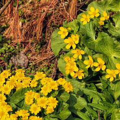 IMG_5105_Marsh Marigolds Extra Petals (BlTZy) Tags: vermont spring 2016 anomoly waterplant marshmarigolds tepals petalsareactuallytepals reservoir