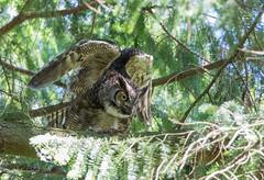 Great Horned Owl (Peter Bangayan) Tags: bird canon washington 7d owl gho greathornedowl ef500mm eos7dmkii waowls