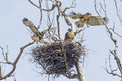 Flight Check (Hockey.Lover) Tags: birds nest explore redtailedhawk fledglings coyotehillsregionalpark juveniles