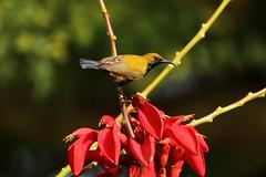Ambon Sunbird #3 (Olived-Backed Male) (168tos) Tags: flower bird animal indonesia small nectar sunbird ambon
