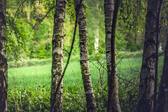 fly & birches - better in fullscreen (Smo_Q) Tags: tree landscape poland polska polen greenfield birches    pentaxk3ii