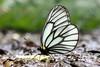 Aporia genestieri insularis 白絹粉蝶 (YoyoFreelance) Tags: aporia insularis 白絹粉蝶 深山粉蝶 genestieri