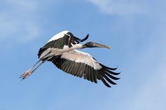 Wood stork (gtb2003) Tags: birds alligator chicks fl staugustine greatblueheron greategret herons nesting egrets tricoloredheron woodstork roseatespoonbill snowyegrets littleblueheron alligatorfarm