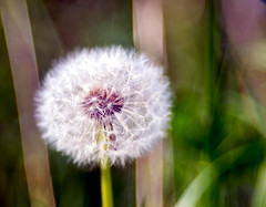dreamy blowball (Danyel B. Photography) Tags: plant flower macro nature close sony natur pflanze 100mm dandelion 28 nah blume makro a7 lwenzahn pusteblume blowball trioplan