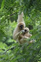 Mama and baby (citizen for boysenberry jam) Tags: wild animals zoo texas waco waza gibbon aza cameronparkzoo whitehandedgibbon
