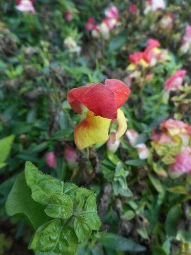 Antirrhinum majus L.  Plantaginaceae-snapdragon, ปากมังกร