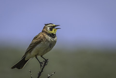 Horned Lark north of Reno, Nevada (fasteddie77) Tags: hornedlark