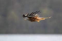 Red Kite (The Wasp Factory) Tags: lake wildlife redkite mecklenburgvorpommern milvusmilvus mecklenburgwesternpomerania rotmilan mecklenburgischeseenplatte feldbergerseenlandschaft luzinsee breiterluzin